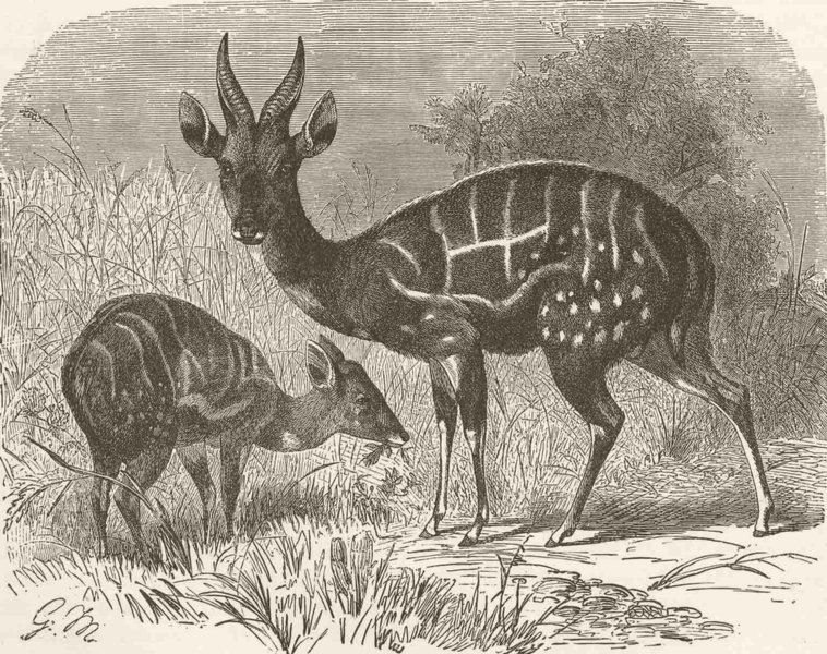 Associate Product UNGULATES. Male and female guib 1894 old antique vintage print picture