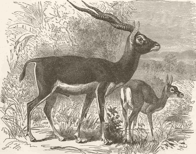 Associate Product UNGULATES. Male & female of black-buck  1894 old antique vintage print picture