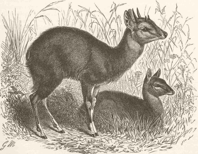 Associate Product ANIMALS. Male & female 4-horned antelopes  1894 old antique print picture