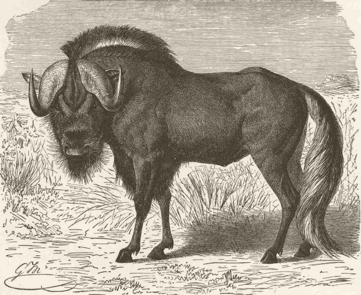 Associate Product UNGULATES. White-tailed wildebeest  1894 old antique vintage print picture