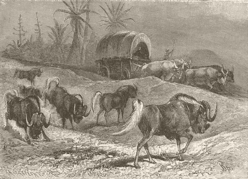 Associate Product UNGULATES. White-tailed wildebeests & wagon 1894 old antique print picture