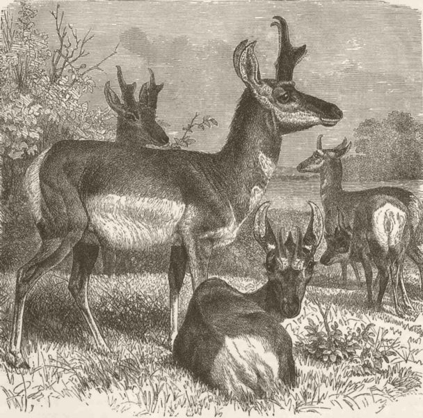 Associate Product UNGULATES. Group of prongbuck 1894 old antique vintage print picture