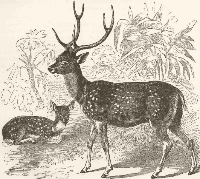 Associate Product INDIA. The Indian spotted deer 1894 old antique vintage print picture