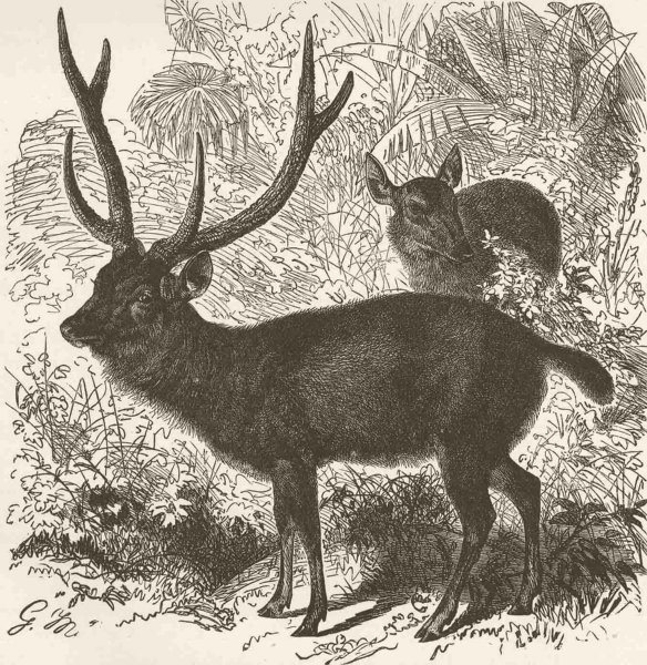 Associate Product UNGULATES. The sambar 1894 old antique vintage print picture