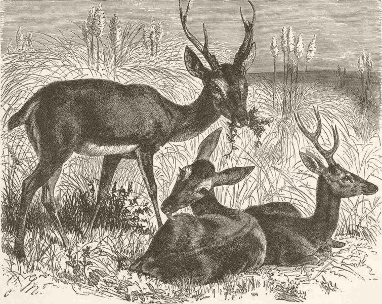 DEER. The pampas deer 1894 old antique vintage print picture
