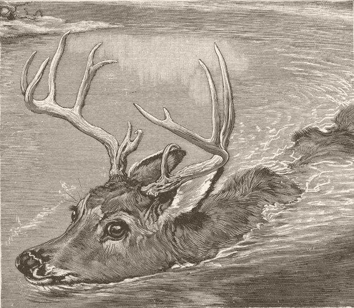 Associate Product DEER. Virginian deer swimming 1894 old antique vintage print picture