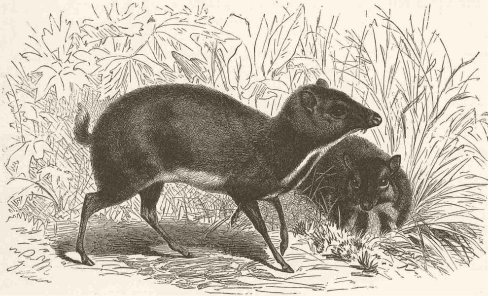 Associate Product UNGULATES. Smaller Malayan chevrotain  1894 old antique vintage print picture