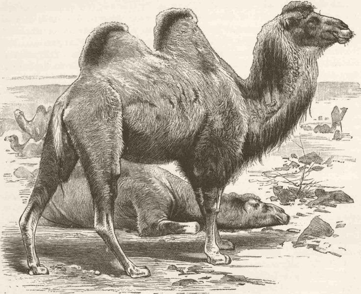 Associate Product CAMELS. The Bactrian camel 1894 old antique vintage print picture