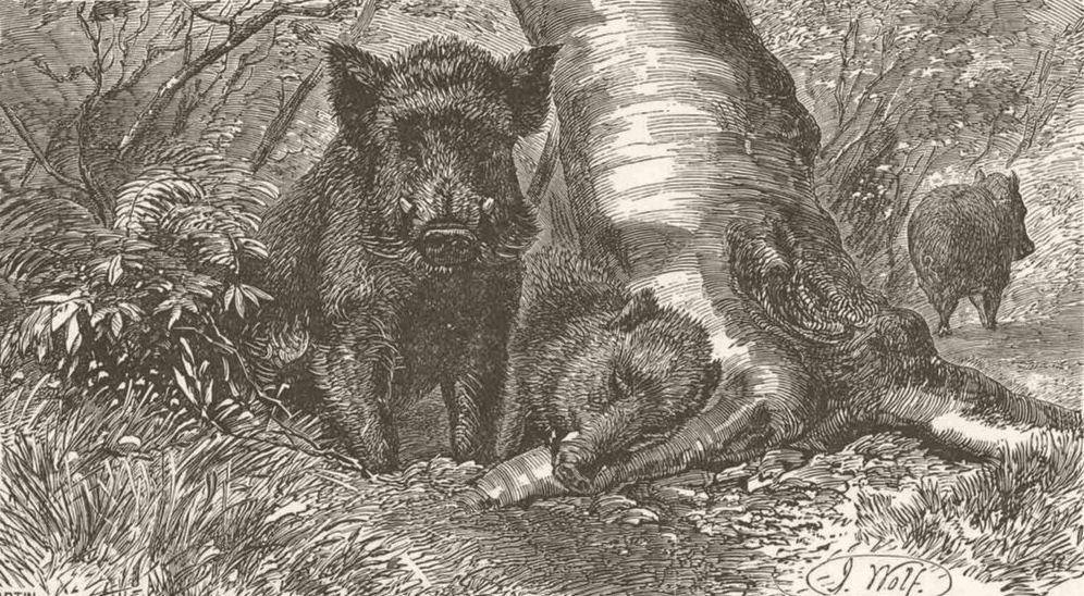 Associate Product PIGS. A sounder of wild swine 1894 old antique vintage print picture