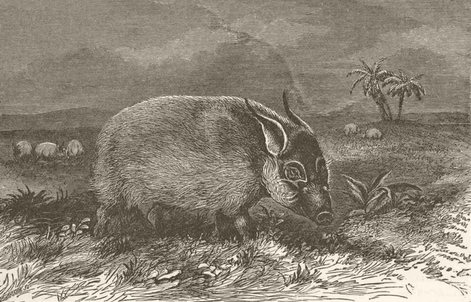 Associate Product PIGS. The red bush-pig 1894 old antique vintage print picture