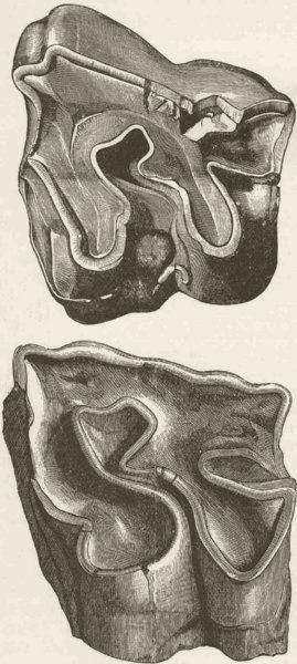 Associate Product RHINOCEROS. Molar teeth of 2 extinct species 1894 old antique print picture