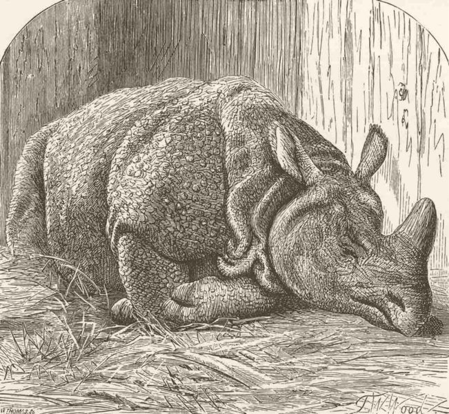 Associate Product INDIA. Gt Indian rhinoceros in zoo 1894 old antique vintage print picture