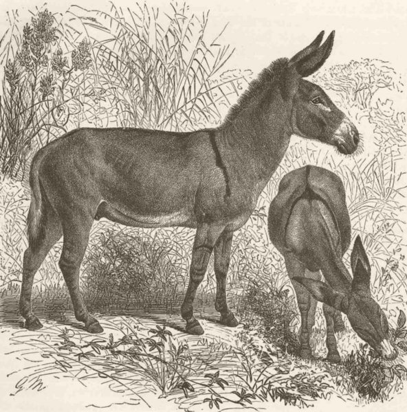 Associate Product UNGULATES. The African wild asses 1894 old antique vintage print picture