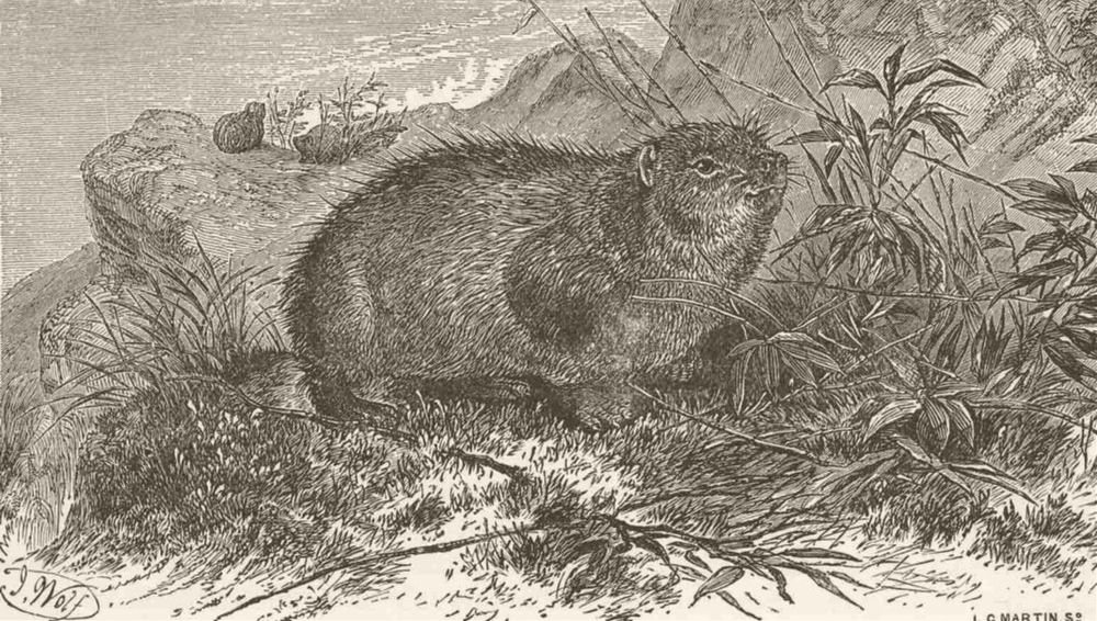 Associate Product UNGULATES. Syrian hyrax 1894 old antique vintage print picture