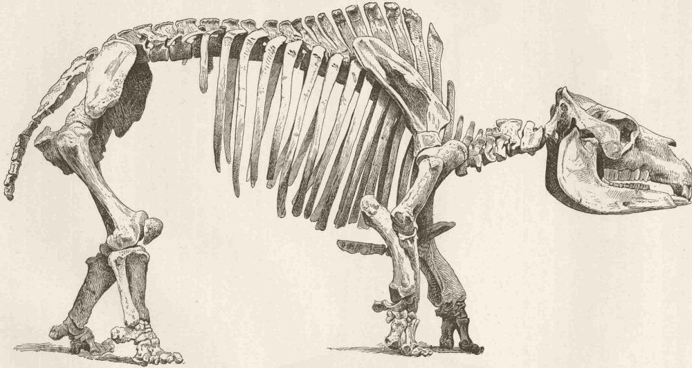 Associate Product UNGULATES. Skeleton of Toxodon 1894 old antique vintage print picture