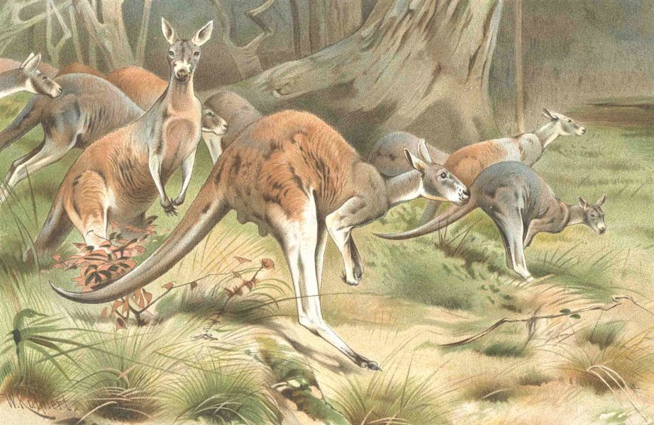 Associate Product ANIMALS. The red kangaroo 1894 old antique vintage print picture