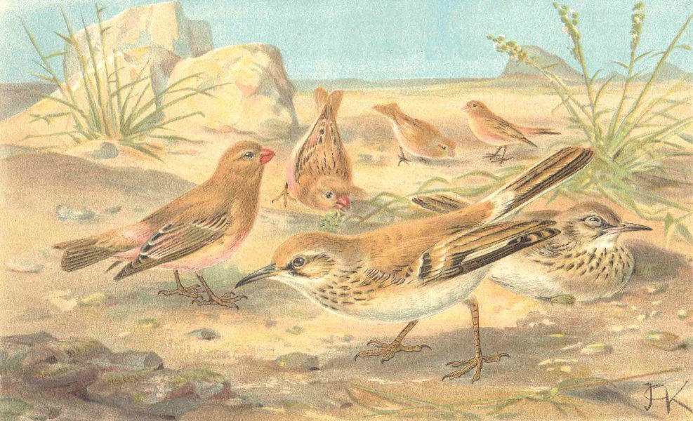 Associate Product BIRDS. Desert finch and desert lark 1894 old antique vintage print picture
