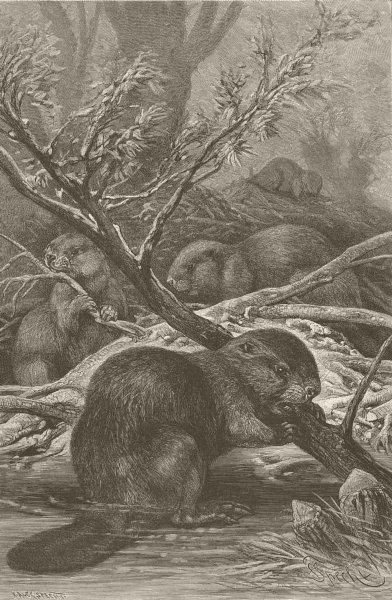 Associate Product UNITED STATES. Beavers at work 1894 old antique vintage print picture