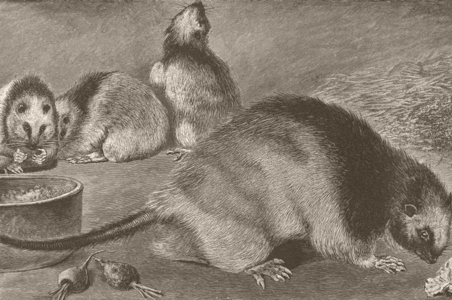 Associate Product RODENTS. Philippine rats 1894 old antique vintage print picture