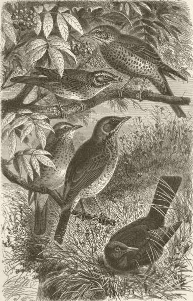 Associate Product THRUSHES. Missel; Redwing; Song; Fieldfare; Blackbird 1894 old antique print