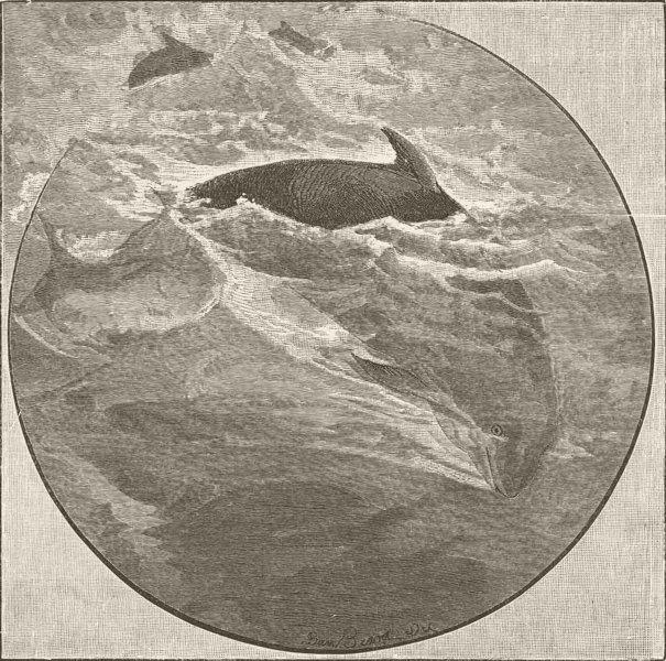 CETACEANS. Porpoise diving 1894 old antique vintage print picture