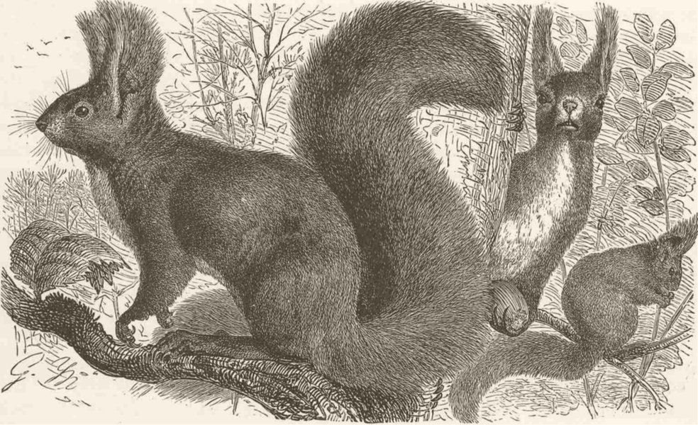 Associate Product RODENTS. The European squirrel 1894 old antique vintage print picture