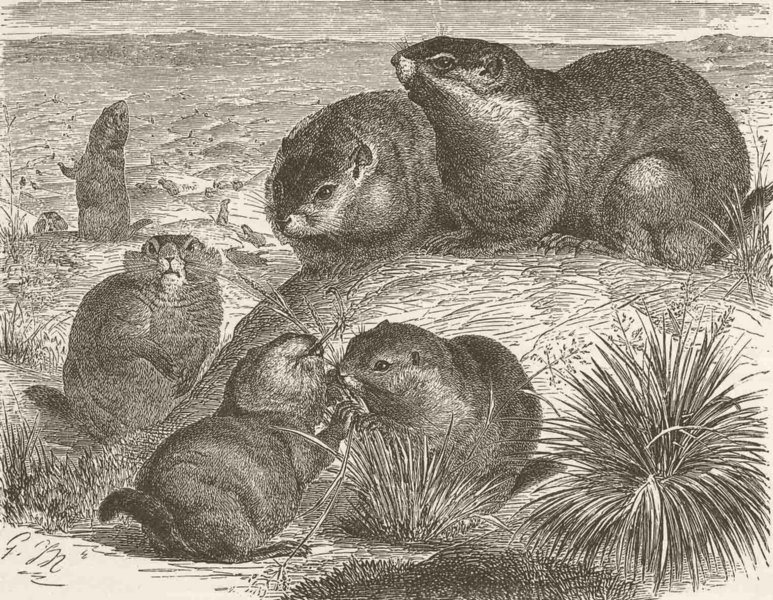 RODENTS. The prairie-marmot 1894 old antique vintage print picture