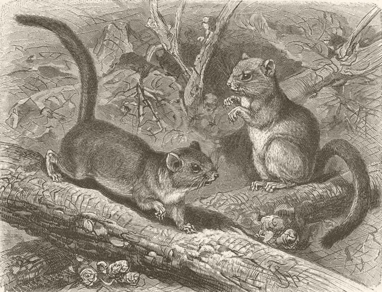 Associate Product MICE. The common dormouse 1894 old antique vintage print picture