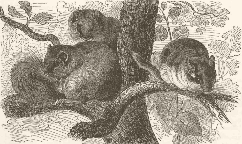Associate Product RODENTS. Squirrel-tailed dormouse & garden dormouse 1894 old antique print