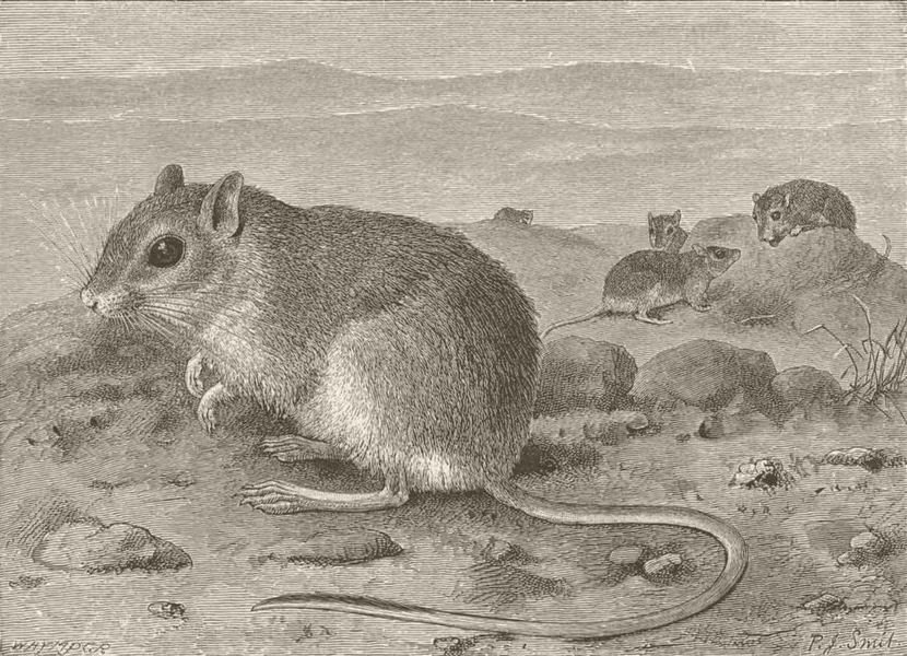 Associate Product RODENTS. Egyptian gerbil 1894 old antique vintage print picture