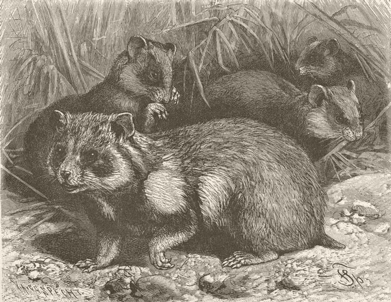 Associate Product RODENTS. The hamster 1894 old antique vintage print picture