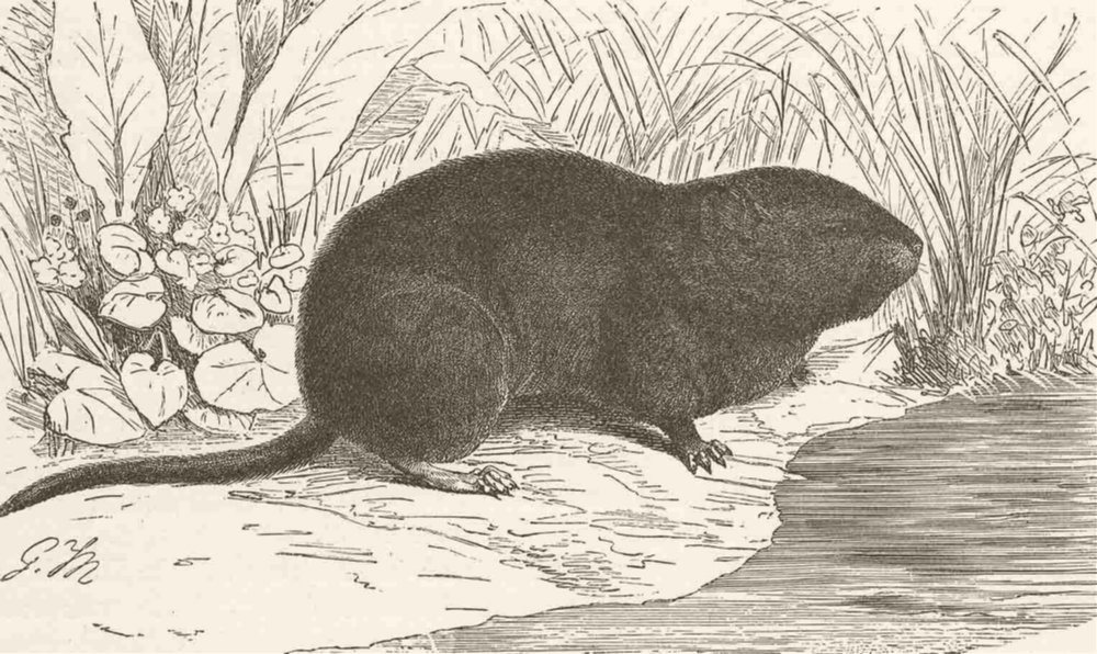 Associate Product RODENTS. The water-vole 1894 old antique vintage print picture