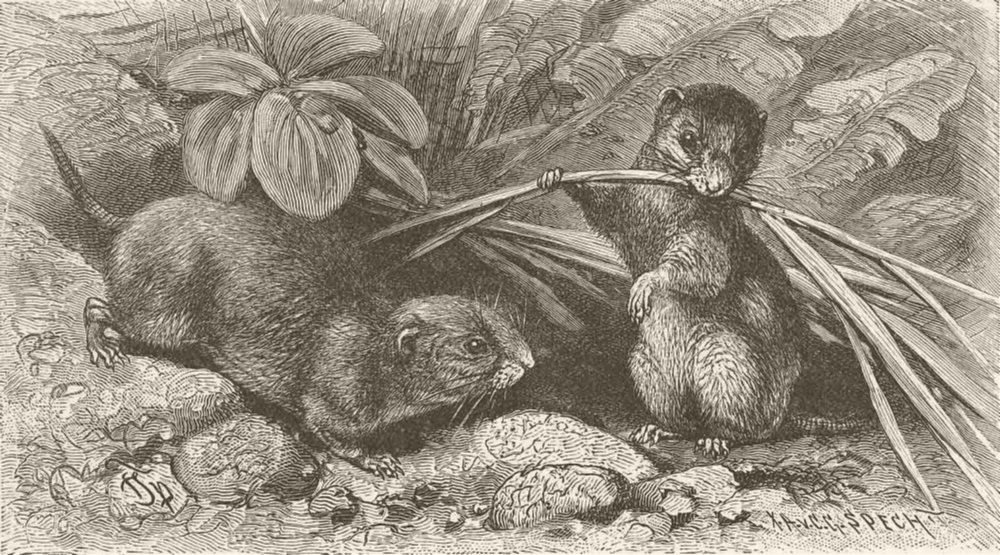 Associate Product RODENTS. The continental field-vole 1894 old antique vintage print picture