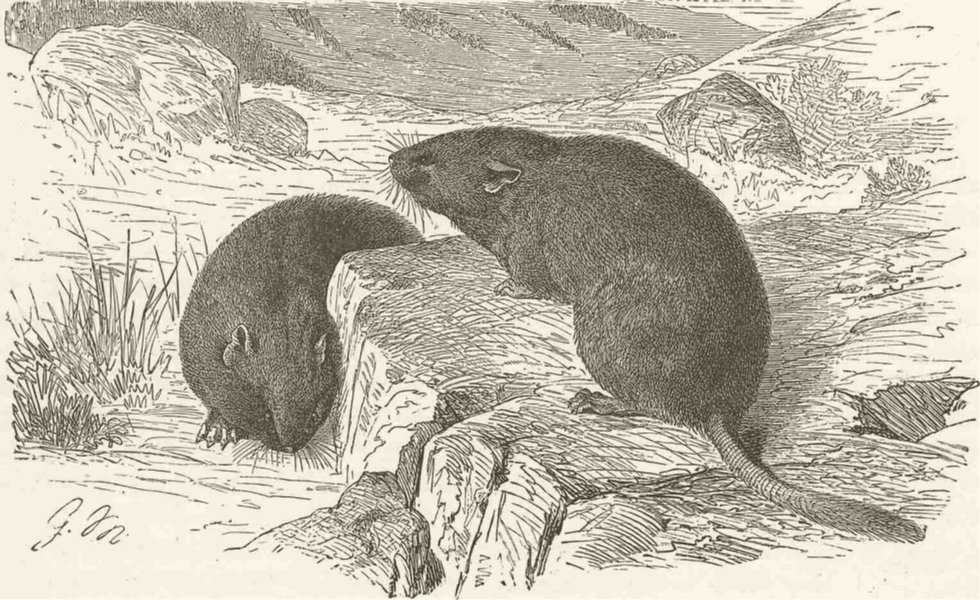 Associate Product RODENTS. The alpine vole 1894 old antique vintage print picture