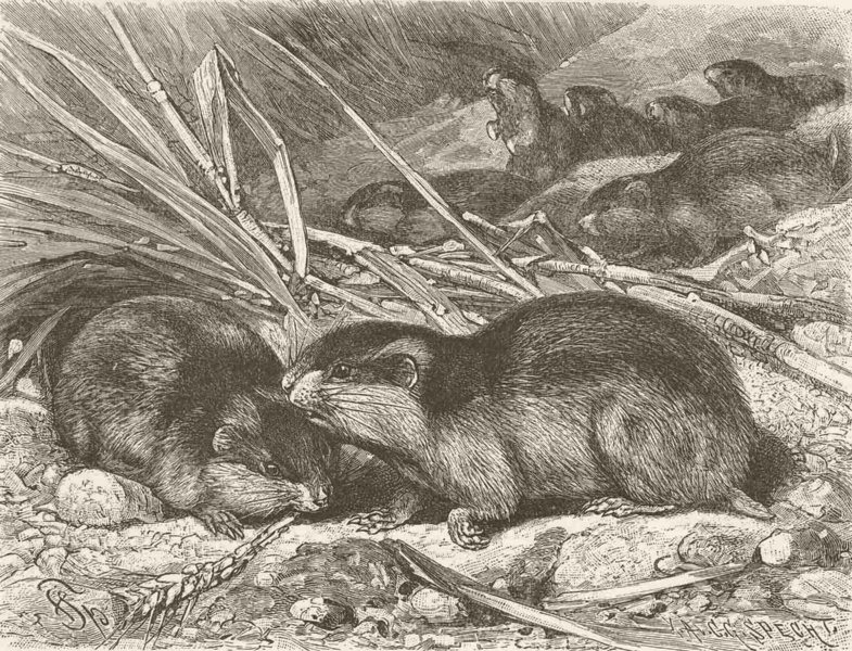 Associate Product RODENTS. Norwegian lemmings migrating 1894 old antique vintage print picture