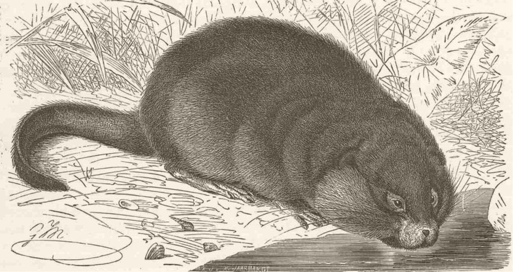 Associate Product RODENTS. The musquash 1894 old antique vintage print picture