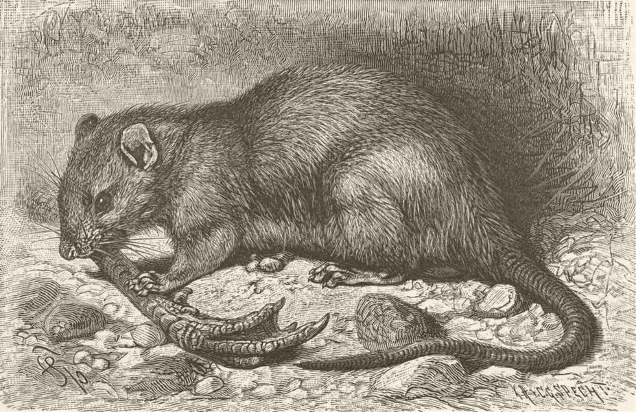 Associate Product RODENTS. The brown rat 1894 old antique vintage print picture