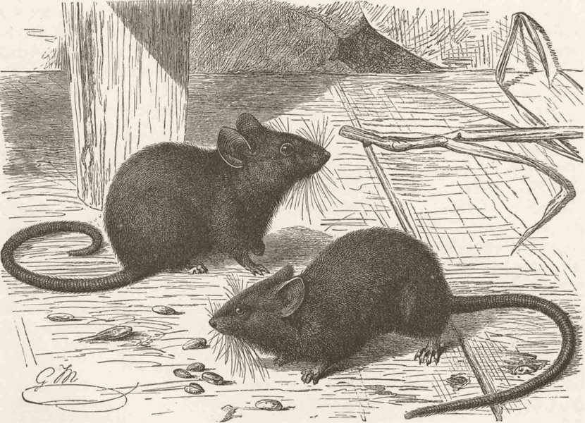 RODENTS. The house mouse 1894 old antique vintage print picture