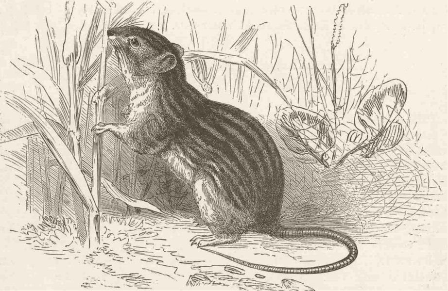 Associate Product RODENTS. The Barbary mouse 1894 old antique vintage print picture