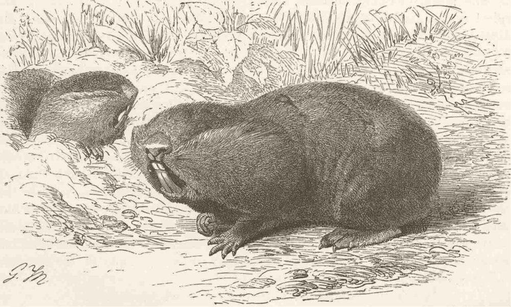 Associate Product MOLES. The great mole-rat 1894 old antique vintage print picture
