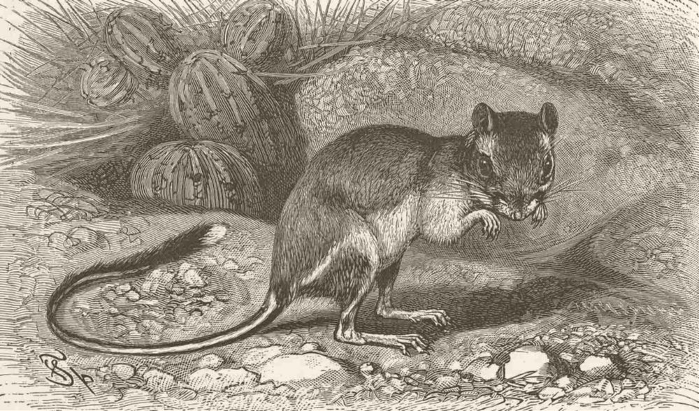 Associate Product RODENTS. The common kangaroo-rat 1894 old antique vintage print picture