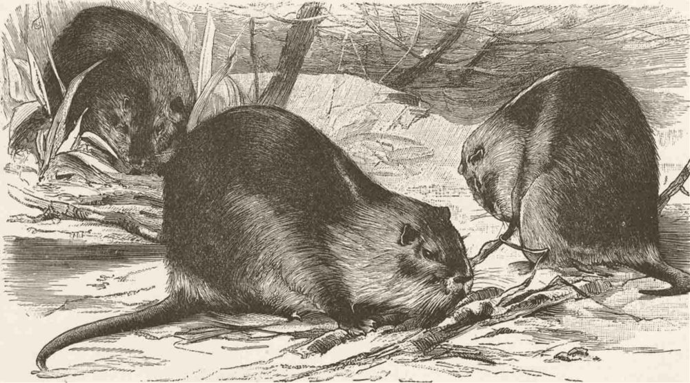 Associate Product RODENTS. The coypu 1894 old antique vintage print picture