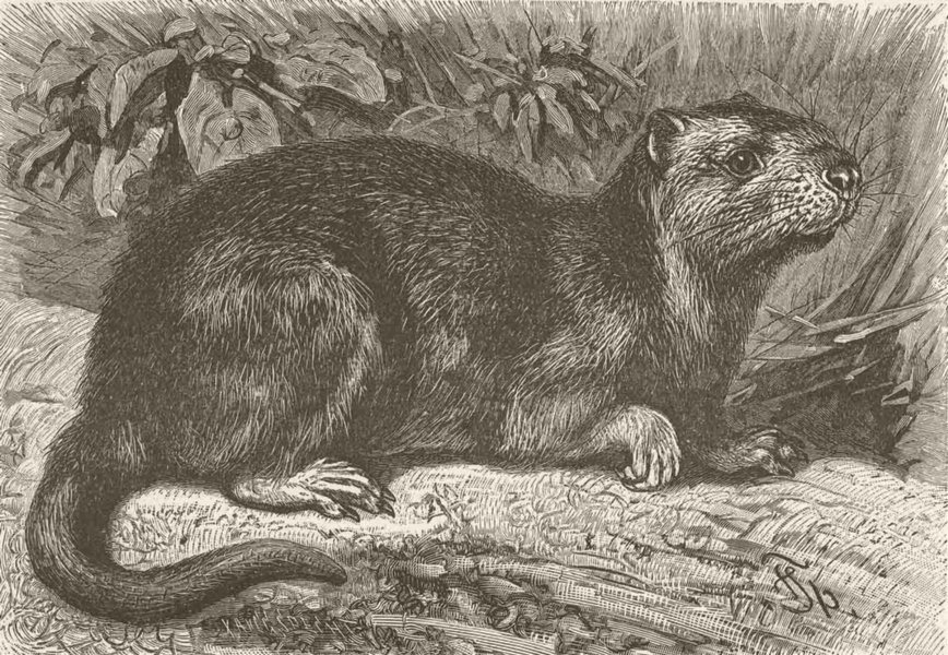 Associate Product RODENTS. The Hutia-Couga 1894 old antique vintage print picture