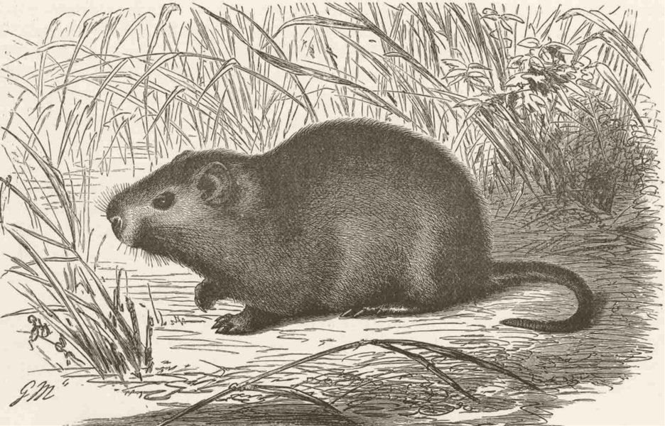 Associate Product RODENTS. The cane-rat 1894 old antique vintage print picture