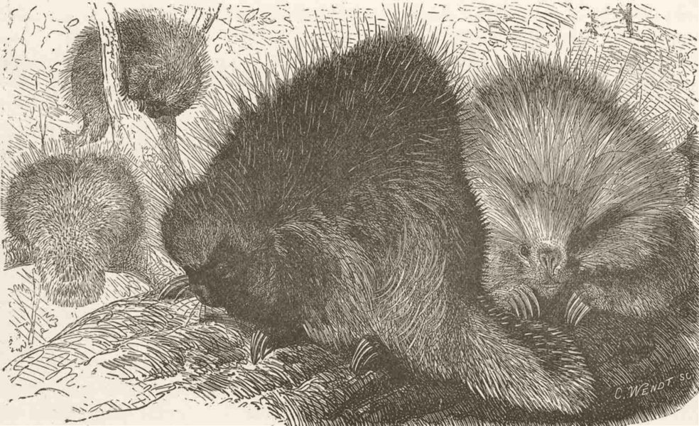 Associate Product RODENTS. The Canadian porcupine. Canada 1894 old antique vintage print picture