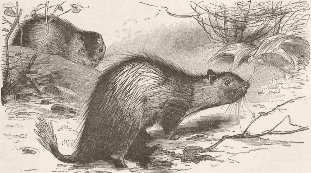 Associate Product RODENTS. African brush-tailed porcupine 1894 old antique vintage print picture