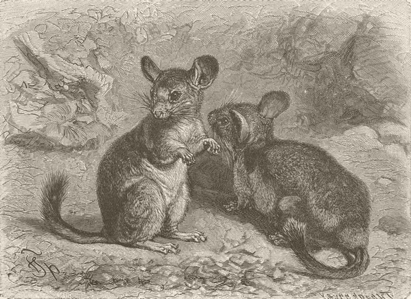 Associate Product RODENTS. The chinchilla 1894 old antique vintage print picture