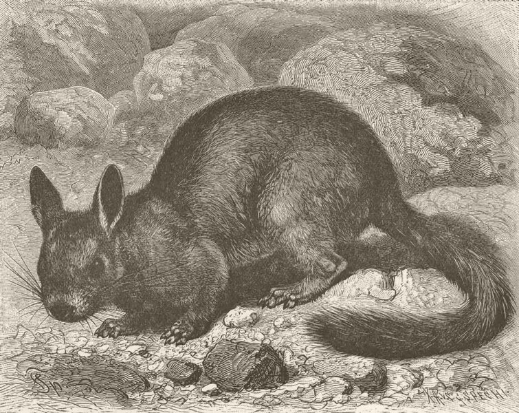 Associate Product RODENTS. Cuvier's chinchilla 1894 old antique vintage print picture