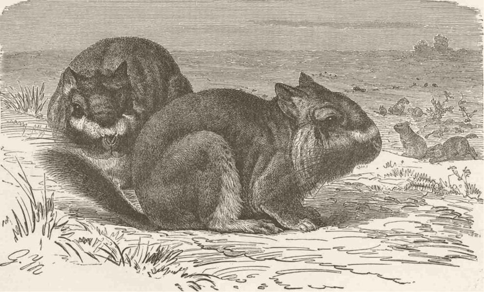Associate Product RODENTS. The viscacha 1894 old antique vintage print picture