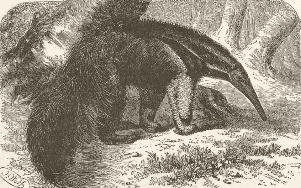 EDENTATES. The great ant-eater 1894 old antique vintage print picture